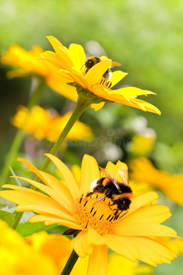 Bumble bees on sunflowers in summer stock photos
