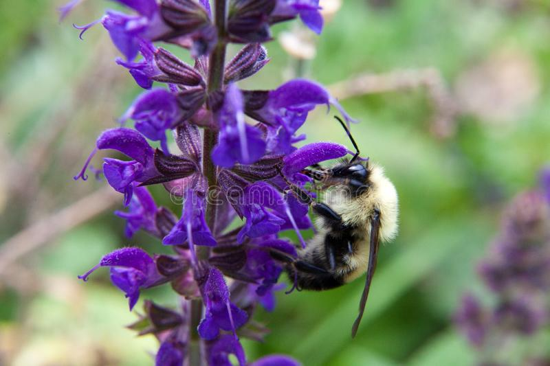 Veronica Longifolia Marietta attracts bumble bees with its vivid colors and irresistable scent. Bumble bees are tireless pollinators that work hard from sunrise royalty free stock photography