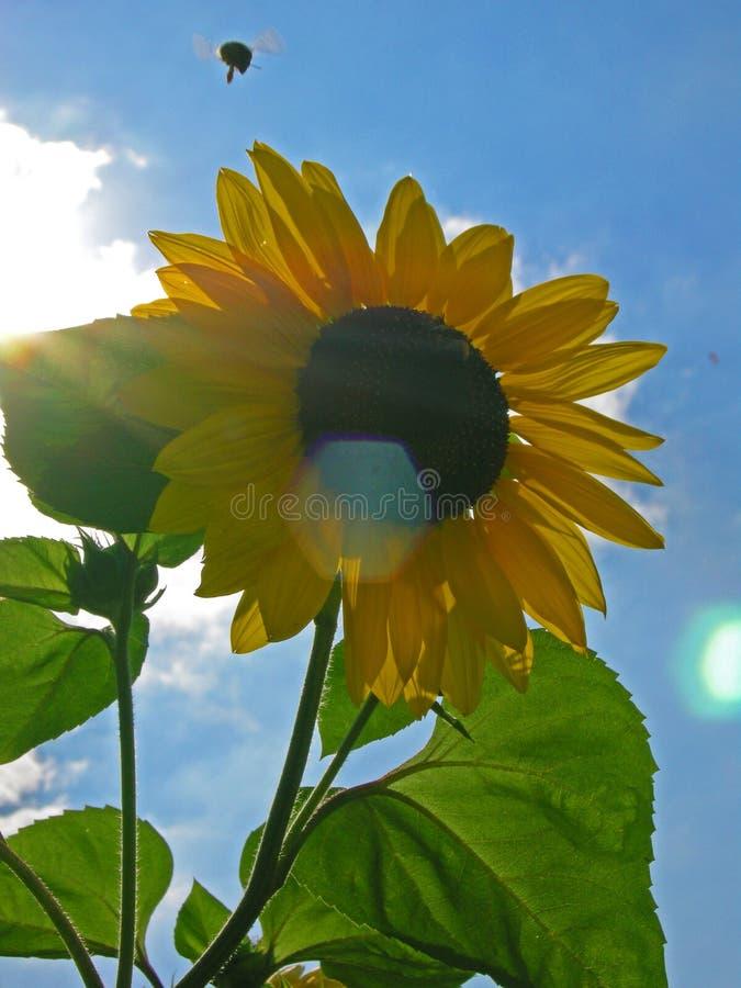 Bumble il sunf della Toscana di volo dell'ape immagine stock libera da diritti