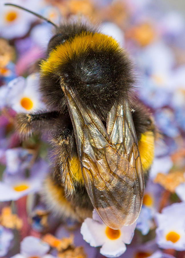 Bumble l'ape fotografia stock