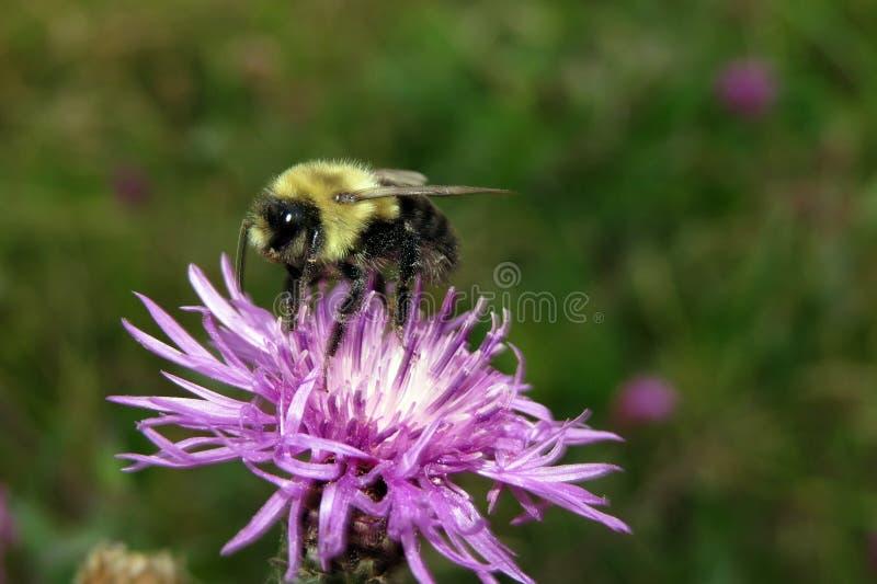 Bumble l'ape immagine stock libera da diritti