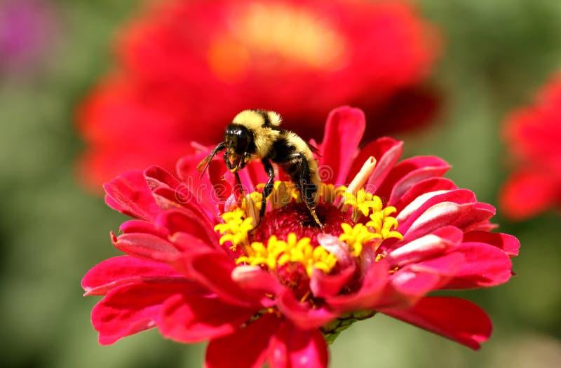 Bumble l'ape che raccoglie il nettare fotografia stock