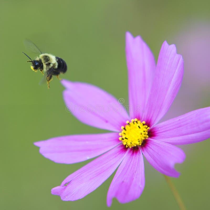 Bumble l'ape durante il volo immagine stock