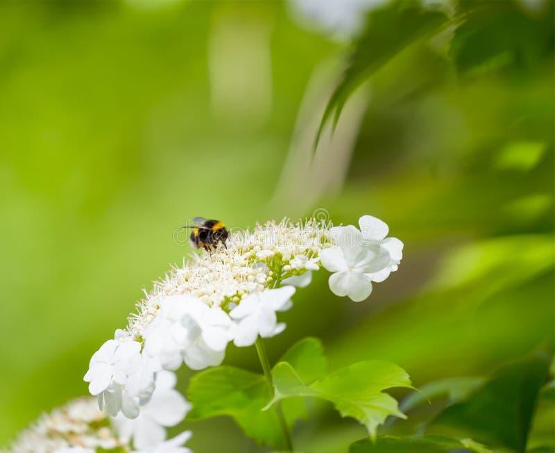 Bumble l'ape ed il fiore fotografia stock libera da diritti