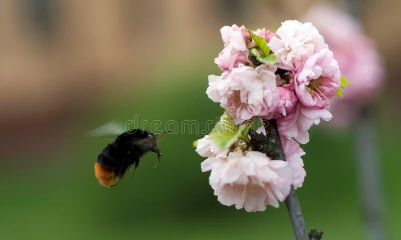 bumblebee αμυγδάλων λουλούδι που πετά στοκ φωτογραφίες με δικαίωμα ελεύθερης χρήσης