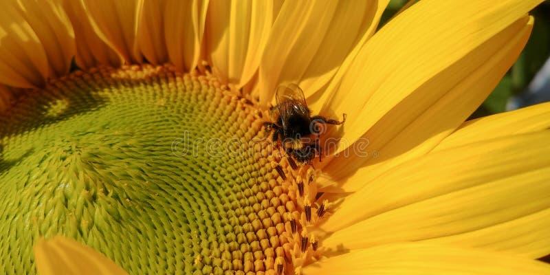 Bumblebee επικονιάζει το φωτεινό ηλίανθο σε μια ηλιόλουστη ημέρα στοκ εικόνα με δικαίωμα ελεύθερης χρήσης