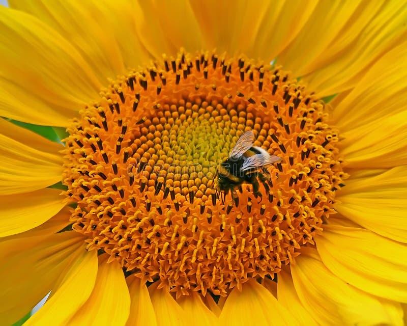 bumblebee ηλίανθος στοκ φωτογραφίες