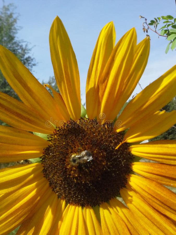 Bumblebee ηλίανθων στοκ φωτογραφία με δικαίωμα ελεύθερης χρήσης