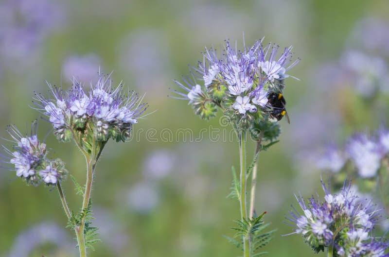 Bumblebee και Phacelia λουλούδια Στοκ Εικόνα