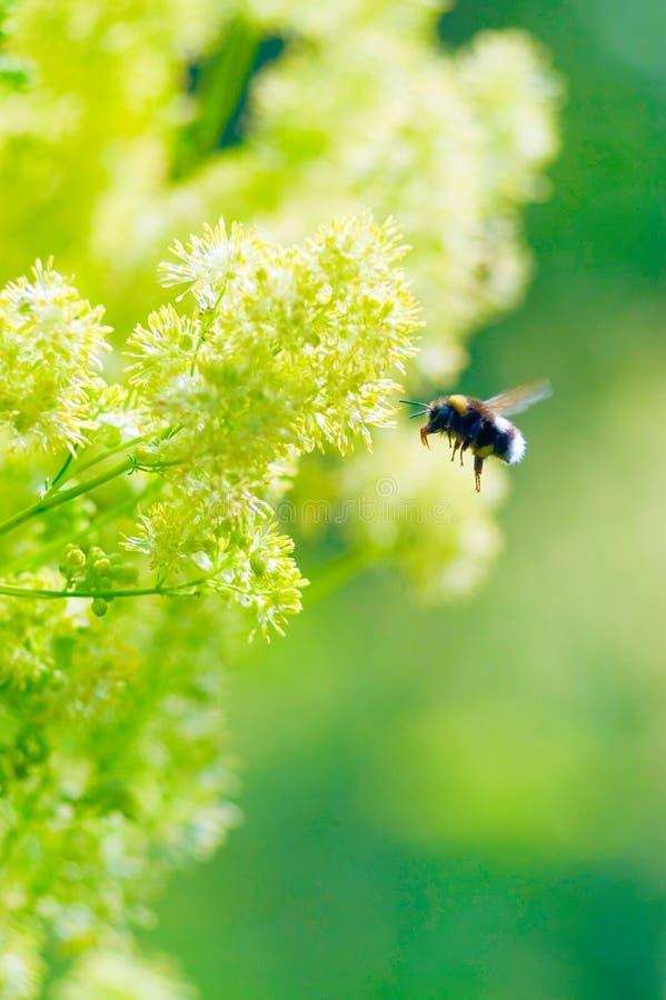 bumblebee λουλούδι κίτρινο στοκ φωτογραφία