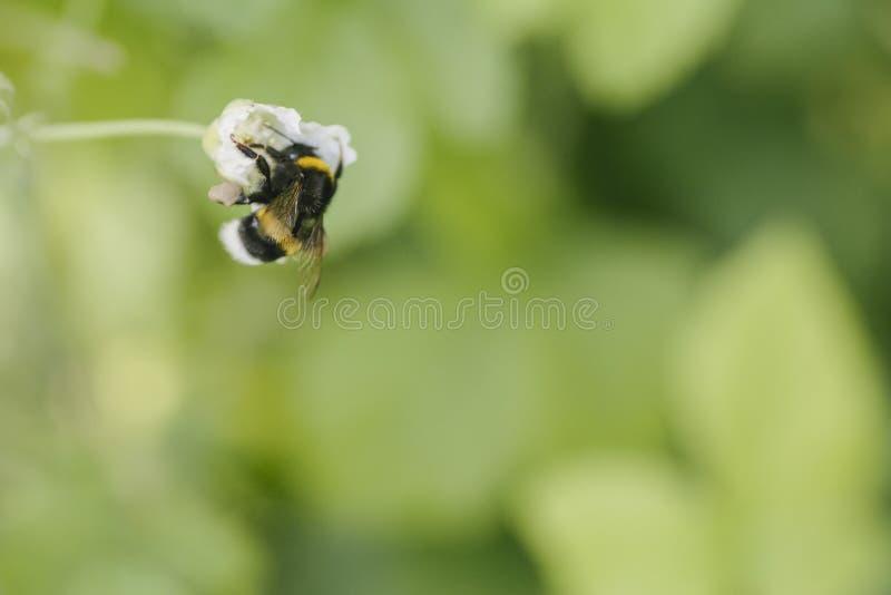 Bumblebee μελισσών μελιού συλλέγει τη γύρη ανθών για το μέλι στη συλλογή λιβαδιών βατόμουρων στοκ εικόνες με δικαίωμα ελεύθερης χρήσης