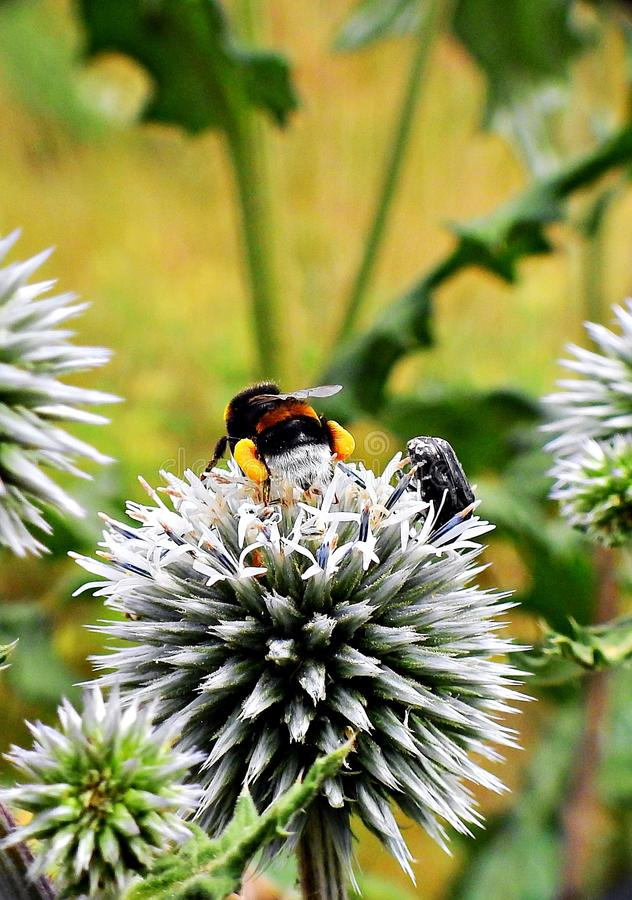 Bumblebee με τη γύρη στα πόδια στοκ φωτογραφία με δικαίωμα ελεύθερης χρήσης