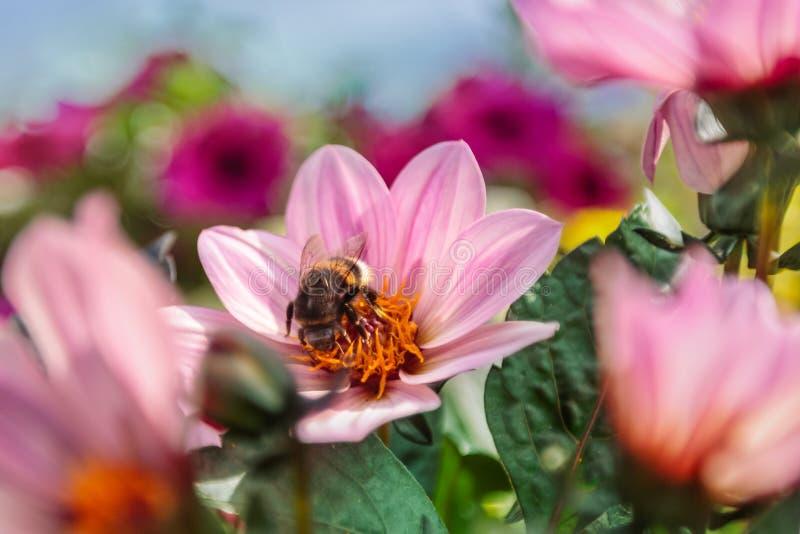 Bumblebee που συλλέγει το νέκταρ μεταξύ του ροδανιλίνης ΛΦ φλογών νταλιών ενιαίου στοκ εικόνες