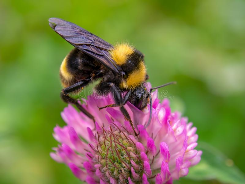 Bumblebee σίτιση από ένα λουλούδι κόκκινου τριφυλλιού στοκ φωτογραφία με δικαίωμα ελεύθερης χρήσης