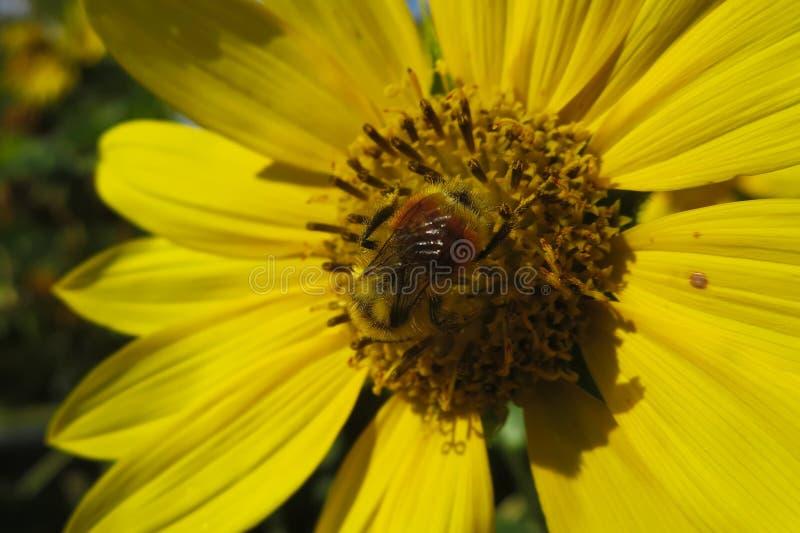 Bumblebee σε έναν ηλίανθο στοκ φωτογραφία