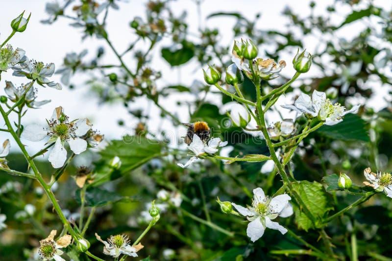 Bumblebee σε ένα ισχίο αυξήθηκε στοκ εικόνες