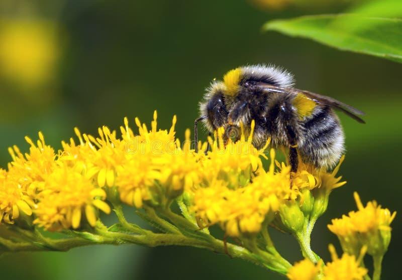 Bumblebee σε ένα κίτρινο λουλούδι στοκ εικόνα με δικαίωμα ελεύθερης χρήσης