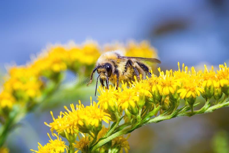 Bumblebee σε ένα κίτρινο λουλούδι στοκ φωτογραφία