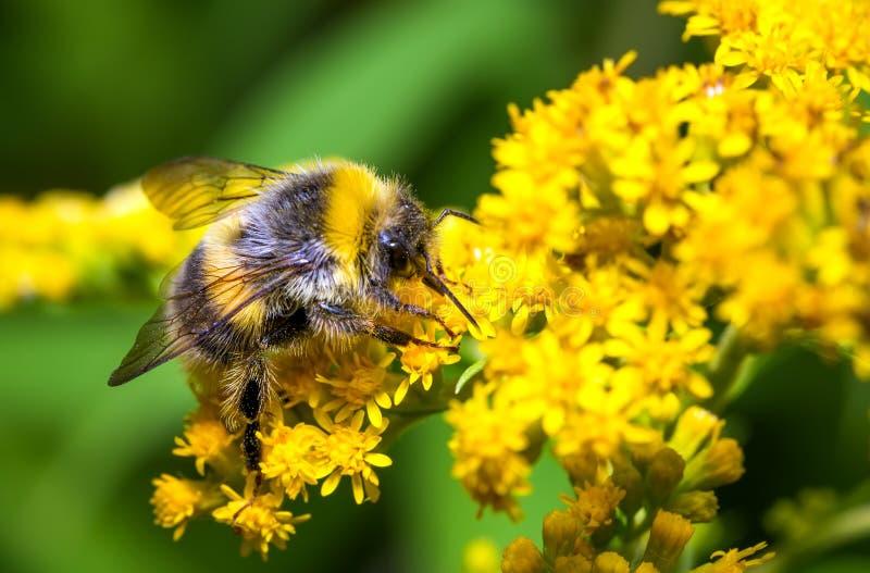 Bumblebee σε ένα κίτρινο λουλούδι στοκ φωτογραφία με δικαίωμα ελεύθερης χρήσης