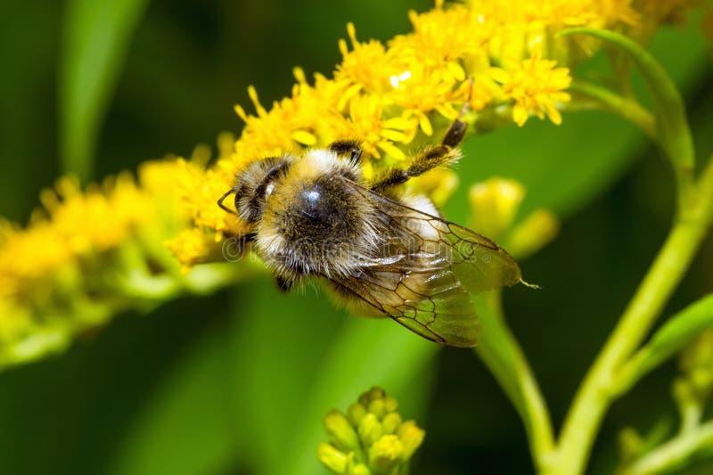 Bumblebee σε ένα κίτρινο λουλούδι στοκ φωτογραφίες με δικαίωμα ελεύθερης χρήσης