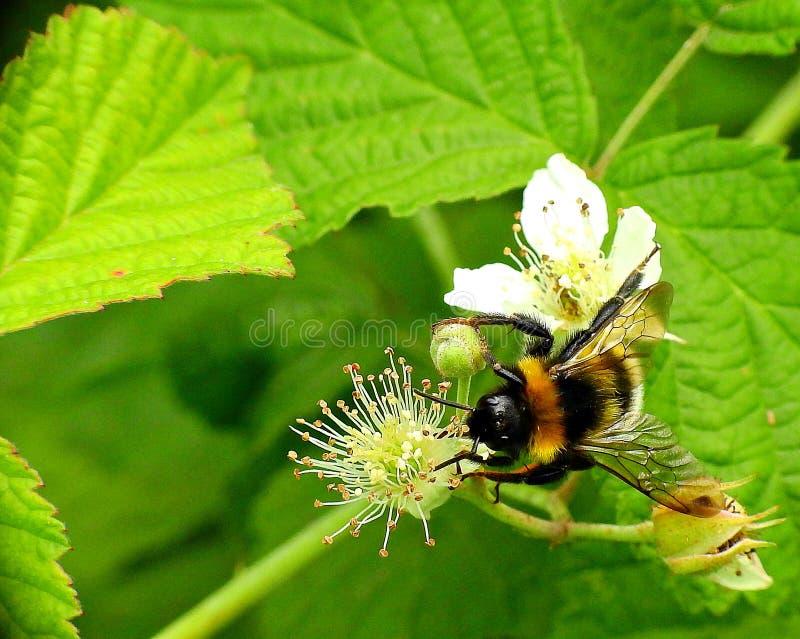 Bumblebee στα λουλούδια βατόμουρων στοκ φωτογραφίες με δικαίωμα ελεύθερης χρήσης