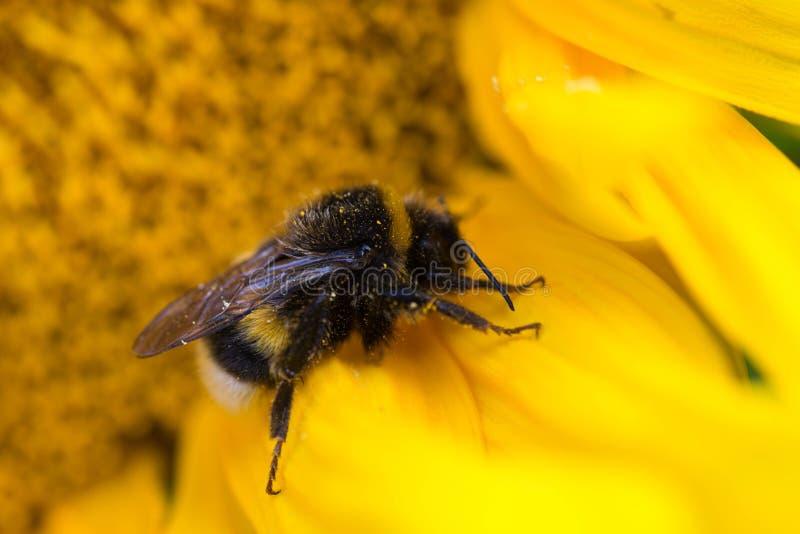 Bumblebee στη μακροεντολή ηλίανθων στοκ εικόνες