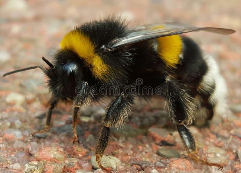 Bumblebee στον κήπο στοκ εικόνα