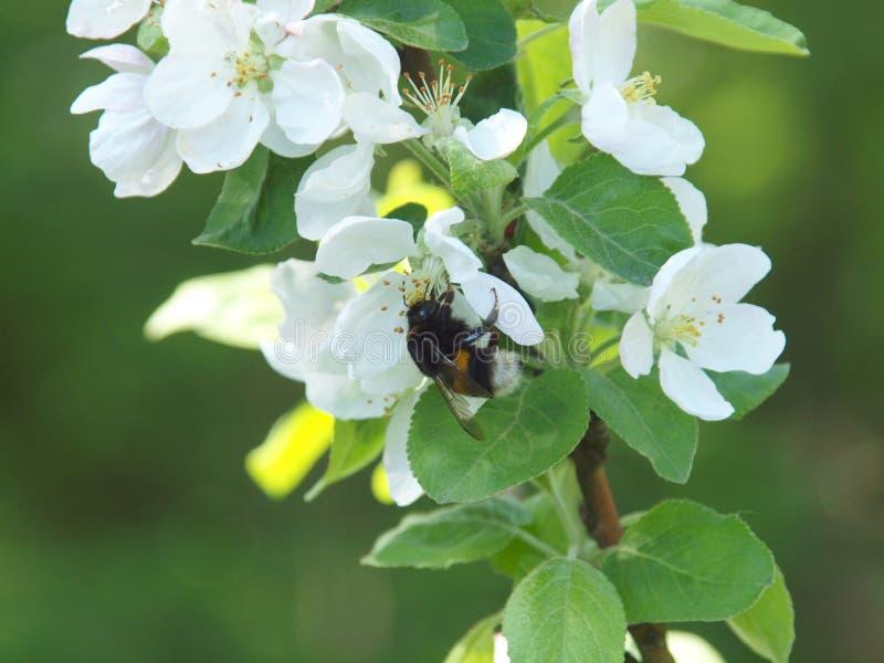 Bumblebee στο άνθος μήλων στοκ φωτογραφία