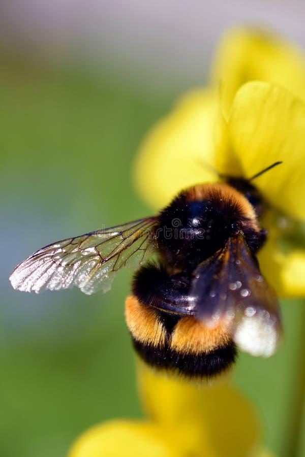 Bumblebee στο κίτρινο λουλούδι στοκ εικόνα