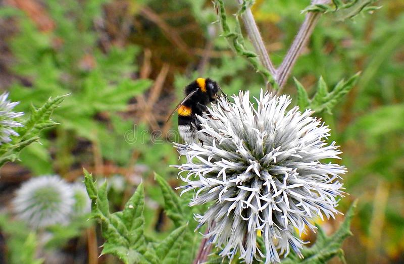 Bumblebee στο λουλούδι των κάρδων στοκ εικόνες