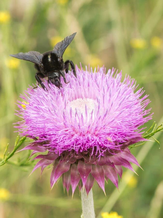 Bumblebee στο λουλούδι 03 κάρδων στοκ εικόνες