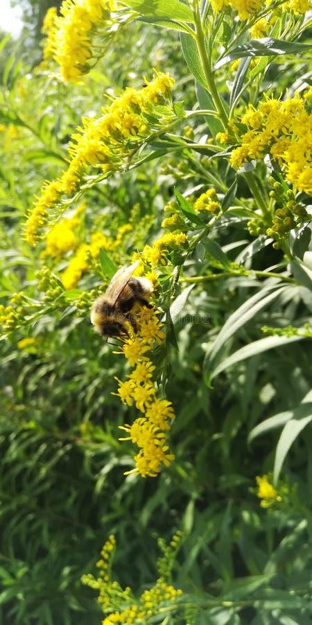 Bumblebee στο πρόγευμα στοκ εικόνες