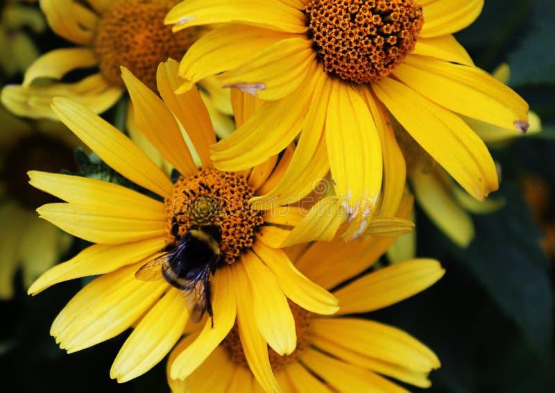 Bumblebee στο φωτεινό λουλούδι στοκ φωτογραφίες
