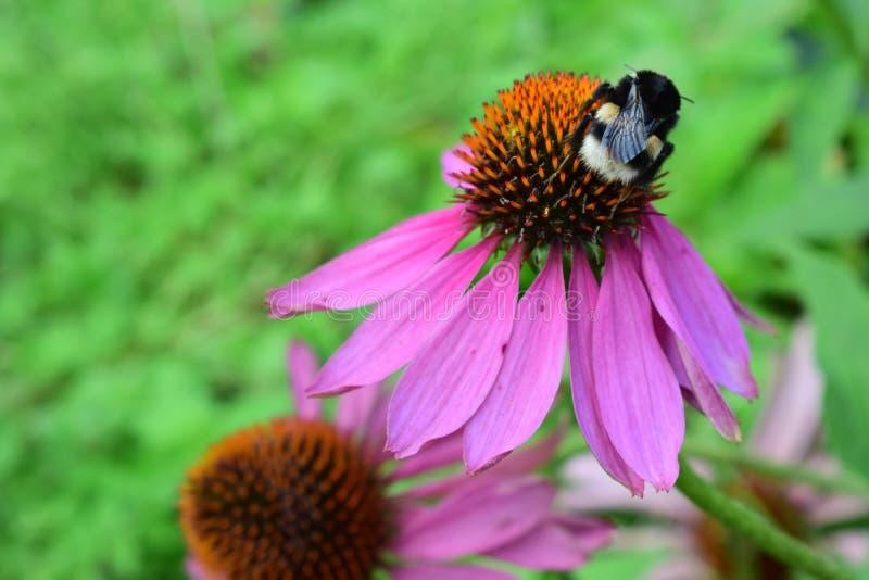 Bumblebee στο echinacea στοκ εικόνες με δικαίωμα ελεύθερης χρήσης