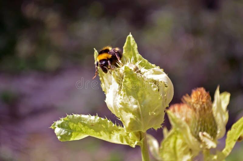 Bumblebee συλλέγει τη γύρη σε τραχιές εγκαταστάσεις κάτω από τον ήλιο στοκ εικόνα