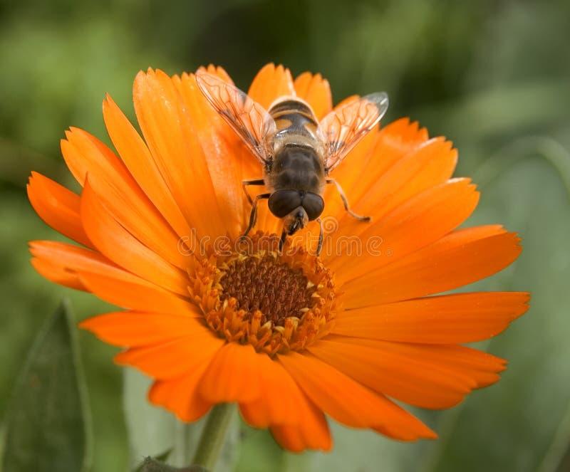 Download Bumblebee stock image. Image of insect, bumblebee, yellow - 11433649