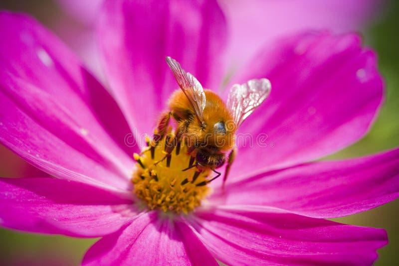 bumblebee zdjęcie stock