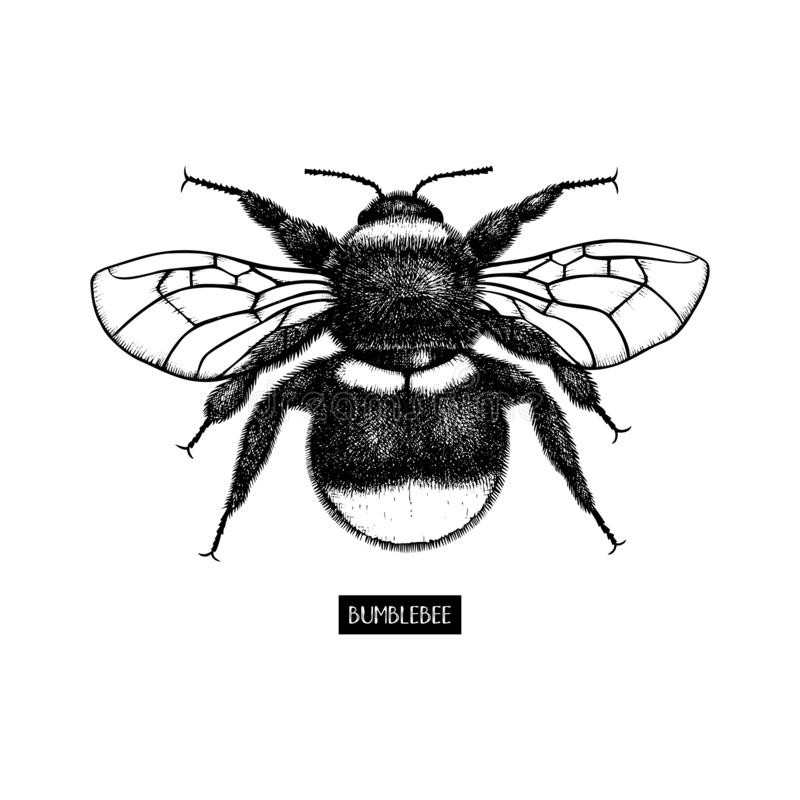 Vector drawing of Bumlebee. Hand drawn insect sketch isolated on white. Engraving style bumble bee illustrations. royalty free illustration