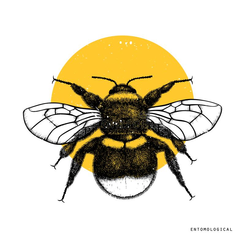 Vector drawing of Bumlebee. Hand drawn insect sketch isolated on white. Engraving style bumble bee illustrations. stock illustration