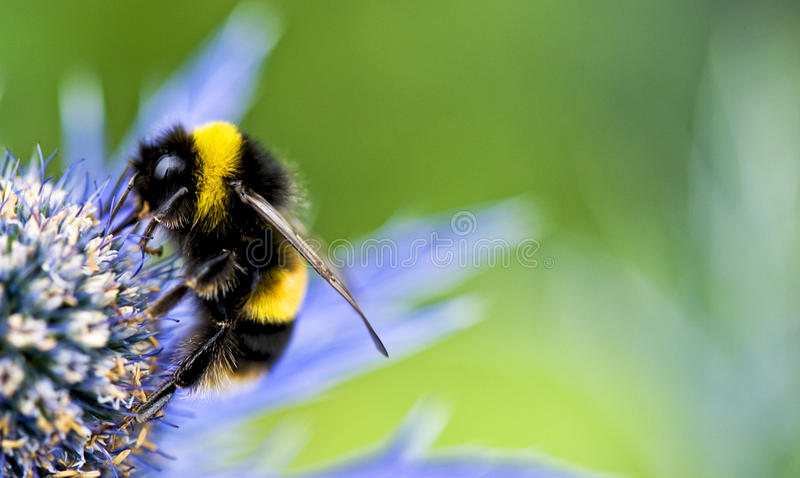 bumblebee obrazy royalty free