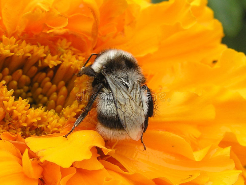 bumblebee zdjęcia royalty free