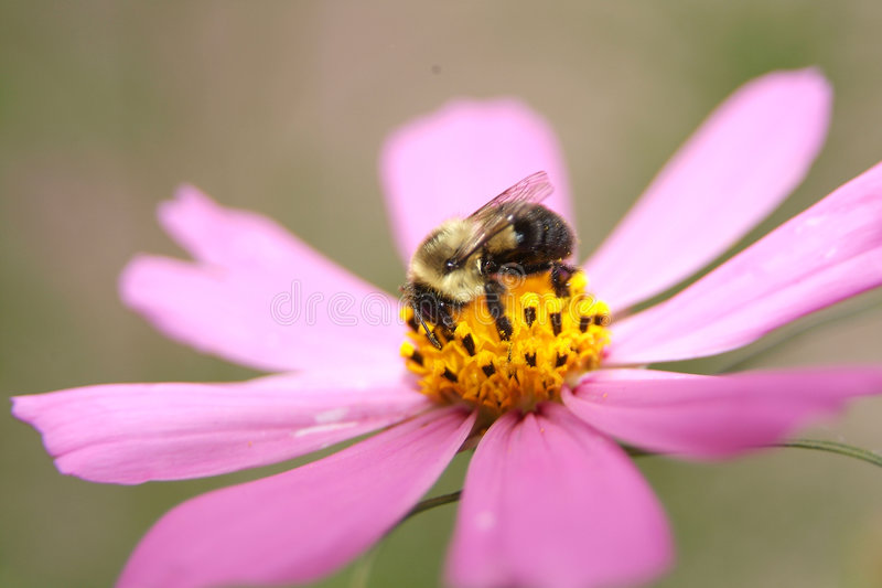 Download Bumblebee 2 stock image. Image of yellow, black, insect - 206809