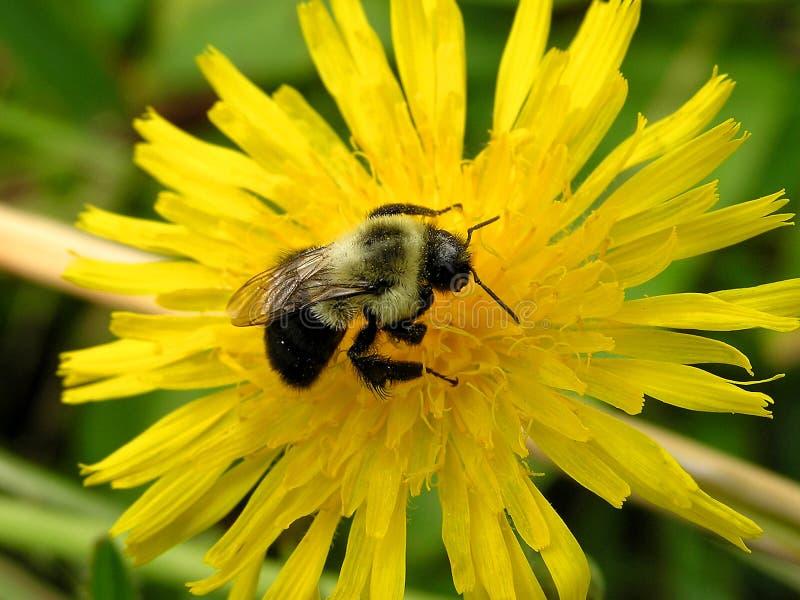 bumblebee 2 στοκ εικόνες