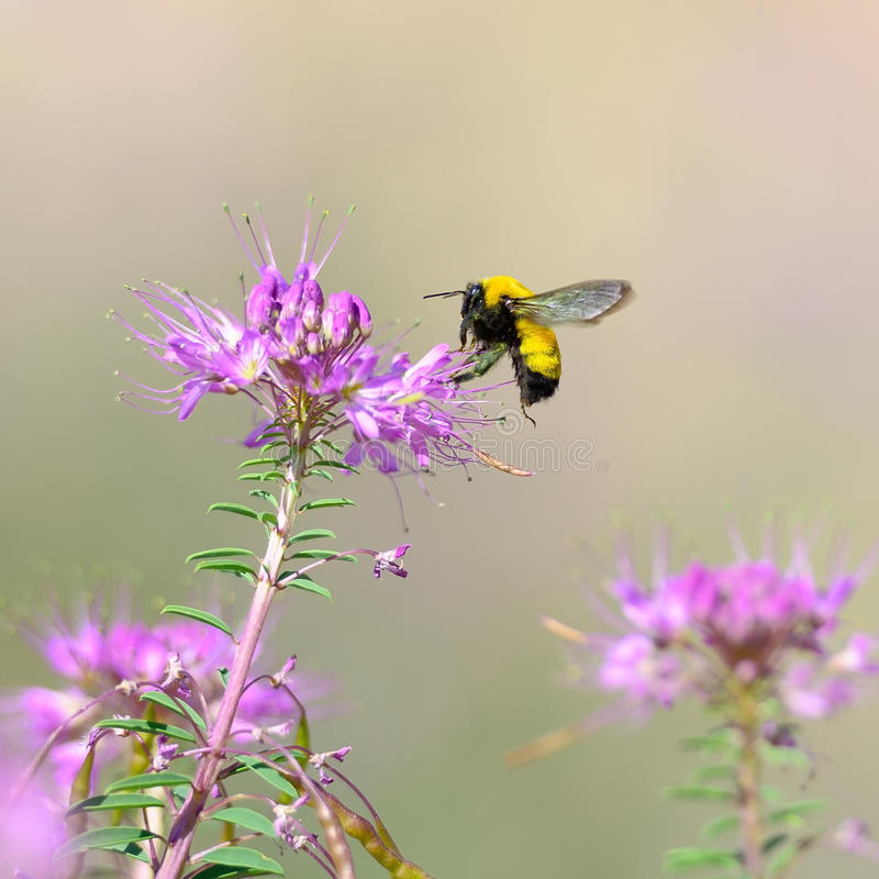 Download Bumblebee stock image. Image of colorado, insect, honey - 26890873