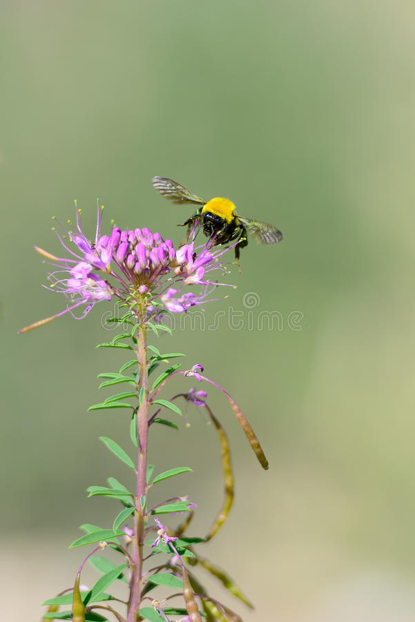 Download Bumblebee stock image. Image of yellow, animal, mid, air - 26908941