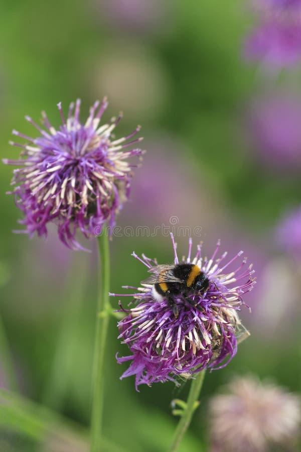 Bumblebee στοκ εικόνα
