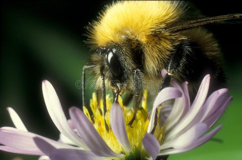 Download Bumblebee στοκ εικόνες. εικόνα από μέλι, έντομο, bumblebee - 399768