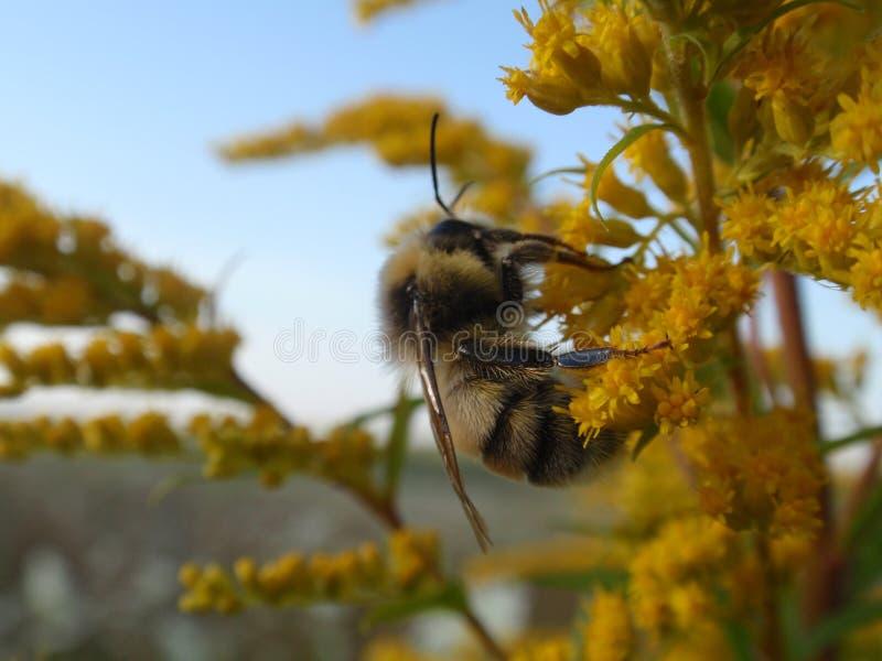 Bumblebee obraz royalty free