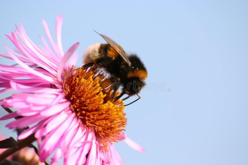 Download Bumblebee Royalty Free Stock Photos - Image: 519228