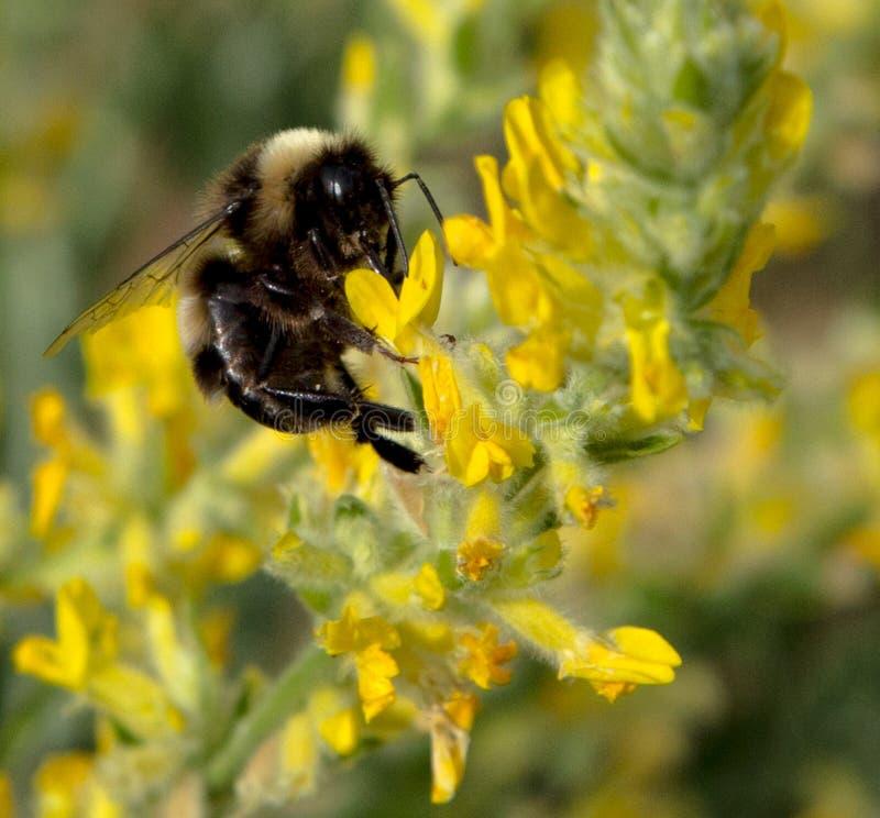 bumblebee στοκ φωτογραφίες